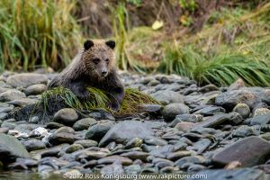 Grizzly Cub Chilling by the River.jpg