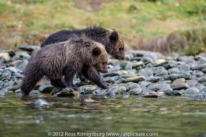 Grizzly Cubs.jpg