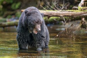 Black Bear Stare II.jpg