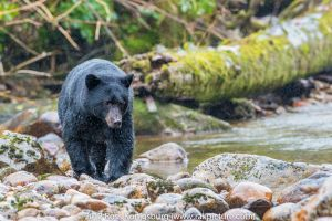 Black Bear on the Rocks.jpg