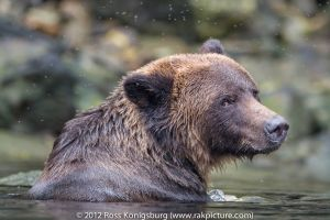 Shy Grizzly.jpg