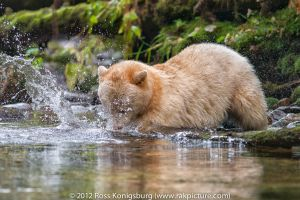 Spirit Bear Going for the Salmon.jpg