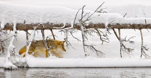Yellowstone 2011-305-Edit.jpg