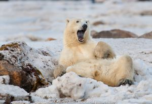 Polar Bears 2011 - -192-Edit-2.jpg