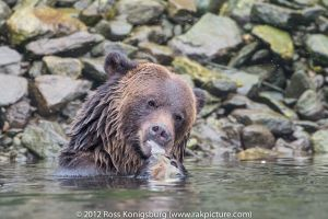 Grizzly Bear Eating Salmon II.jpg