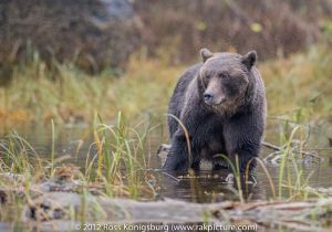 Grizzly Watching.jpg
