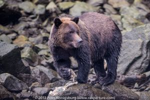 Grizzly bear eating Salmon.jpg