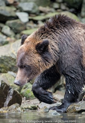 Grizzly looking for fish.jpg