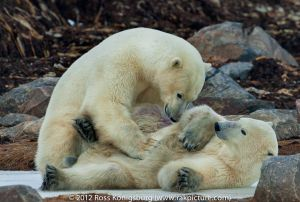 Polar Bears 2011 - -2408-Edit.jpg