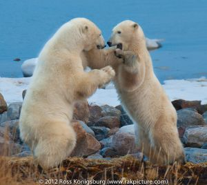 Polar Bears 2011 - -2735-Edit.jpg