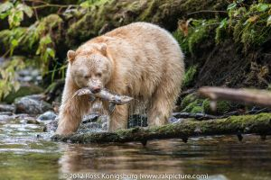 Spirit Bear With Salmon.jpg