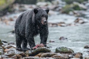 c100-Black Bear with Salmon II.jpg