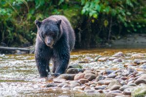 c85-Black Bear on the Prowl.jpg