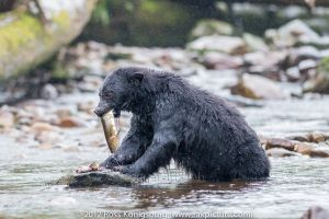 c87-Black Bear with Salmon.jpg