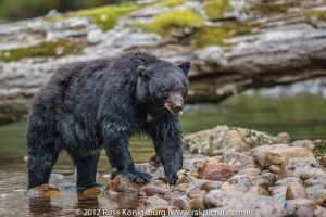 c96-Black Bear with Salmon III.jpg